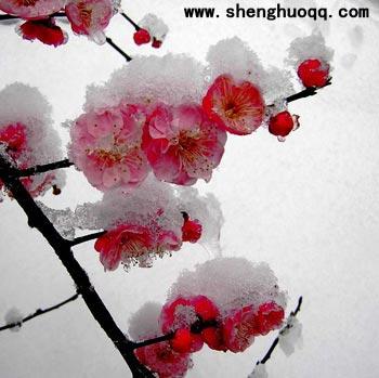 蔷薇科的梅花