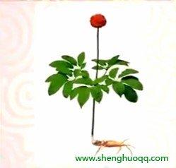 西洋参的外形(www.yangshengpu.com)