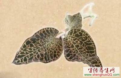 金线莲的功效与作用www.yangshengpu.com