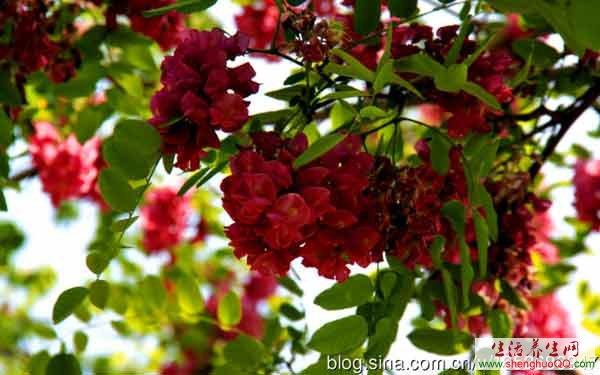 红槐花-功效与作用