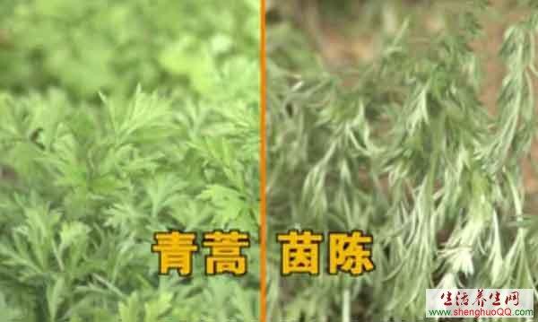 青蒿-<a href='/zy/zhong-yao/5071.html' target='_blank'>茵陈</a>