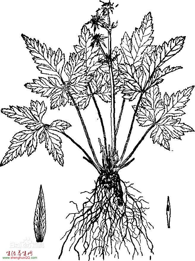 黄连-植株