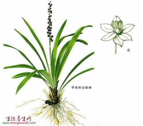 麦冬草-图片