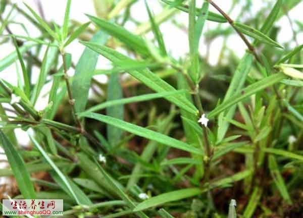 白花蛇舌草