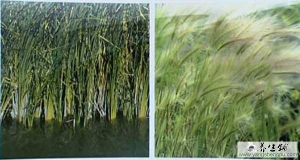 芦根-芦苇的根茎