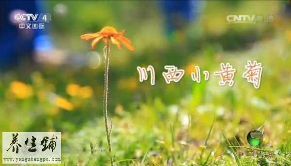 川西小黄菊
