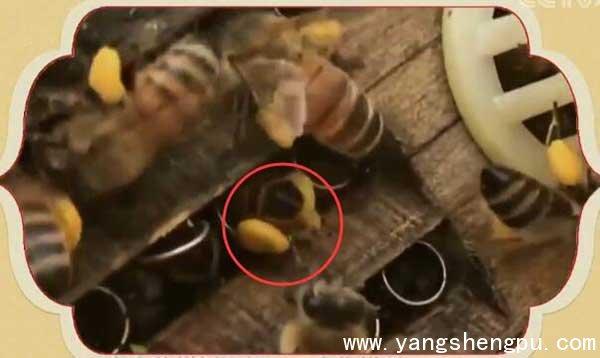 花粉的收集过程